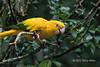 Golden-conure-(Guaruba-guarouba),-Parque-Aves,-Foz-do-Iguacu,-Brazil