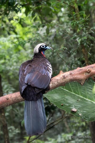 Black-fronted-piping-guan-(Pipile-jacutinga),-Parque-Aves,-Foz-do-Iguacu,-Brazil