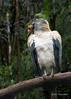King-vulture-(Sarcorampus-papa),-Parque-Aves,-Foz-do-Iguacu,-Brazil