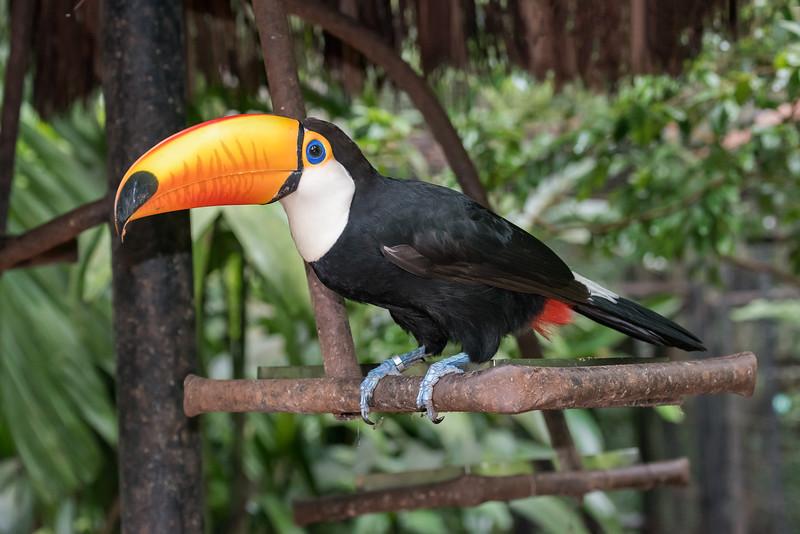 Toco-toucan-(Ramphastos-toco)-at-a-feeding-station,-Parque-Aves,-Foz-do-Iguacu,-Brazil