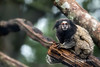 Black-tufted marmoset