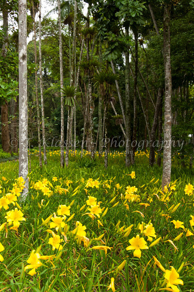 Yellow daylily flowers in a tropical forest in Petropolis, Brazil, South America.