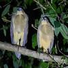 Whistling Herons roosting