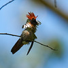 Frilled Coquette (male)