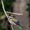 Female Amazon kingfisher on a riverside branch, Rio Cuiaba, Pantanal, Brazil