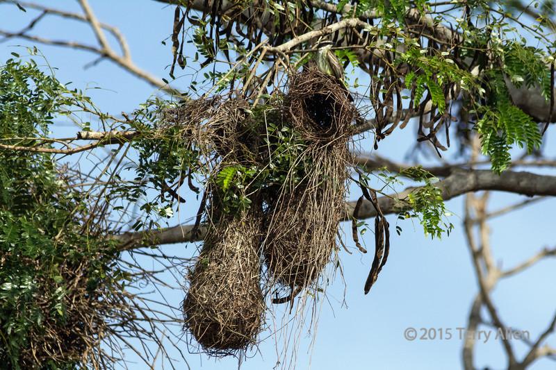 Weaver bird nests with (?) a white bearded flycatcher on top, Rio Cuiaba, Pantanal, Brazil
