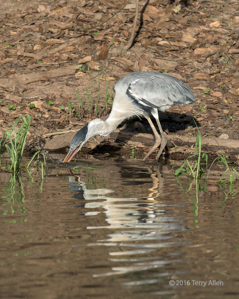"""Fishing<br /> <br /> Cocoi heron (Ardea cocoi) fishing in the Rio Cuiaba, with reflections, Pantanal, Brazil<br /> <br /> 11/09/15  <a href=""""http://www.allenfotowild.com"""">http://www.allenfotowild.com</a>"""