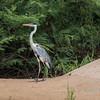 Cocoi heron (Ardea cocoi) on a sandbank, Rio Cuiaba, Pantanal, Brazil