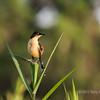Black-capped donacobius (Donacobius atricapilla), Rio Cuiaba, Pantanal, Brazil (best larger)