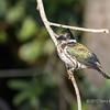 Female Amazon kingfisher (Chloroceryle amazona) clinging to a riverside branch, Rio Cuiaba, Pantanal, Brazil
