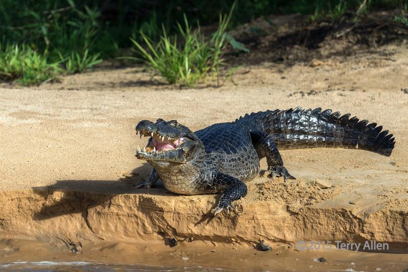 Caiman with open moutn and head shadow on a sand bar, Rio Cuiaba, Pantanal, Brazil