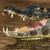 "Nice teeth<br /> <br /> Caiman (Caiman yacare) in the Rio Cuiaba, basking with an open mouth, giving me a good view of its mouthful of teeth<br /> <br /> Other photos from the rive can be seen here: <a href=""http://goo.gl/IvstZG"">http://goo.gl/IvstZG</a><br /> <br /> 02/05/15  <a href=""http://www.allenfotowild.com"">http://www.allenfotowild.com</a>"