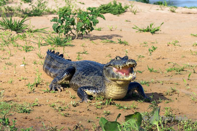 Big smile<br /> <br /> Caiman on a sand bar, Rio Cuiaba, Pantanal, Brazil