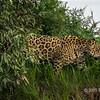 Jaguar at dusk walking along the river bank, Rio Cuiaba, Pantanal, Brazil