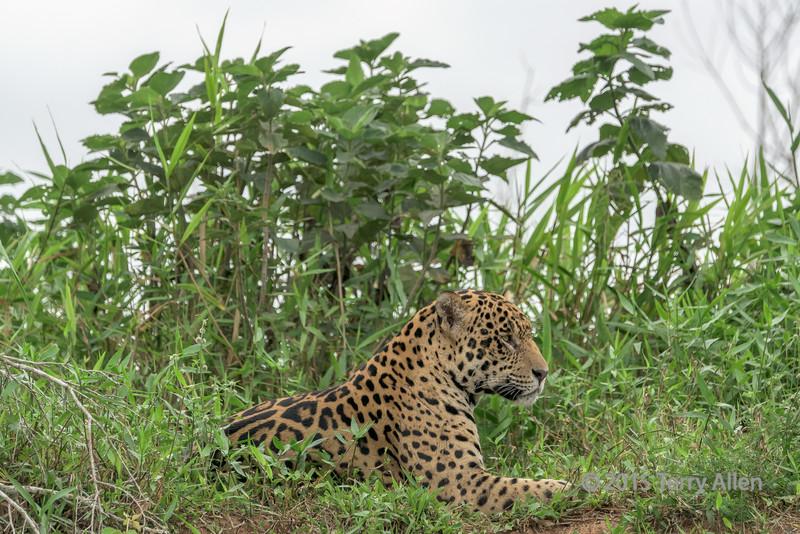 Resting jaguar, Rio Cuiaba, Pantanal, Brazil