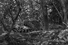 """Protective camouflage<br /> <br /> Jaguar lying in the woods, done in BW to show how well they start to blend into their surroundings in dappled light.<br /> <br /> 07/09/15  <a href=""""http://www.allenfotowild.com"""">http://www.allenfotowild.com</a>"""