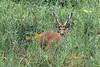 Marsh-deer-(Blasocerus-dichotomus)-in-velvet-standing-in-the-wildflowers,-Transpantaneira-Hwy,-Pantanal,-Brazil
