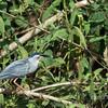 Striated heron (Butorides striata) on a branch, Rio Cuiaba, Pantanal, Brazil