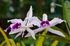 Closeups of orchid flowers at the Botanical Gardens in Rio de Janeiro. Brazil.