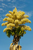 A Talipot Palm, Corypha umbraculifera with large gold blossoms in Rio de Janeiro, Brazil.