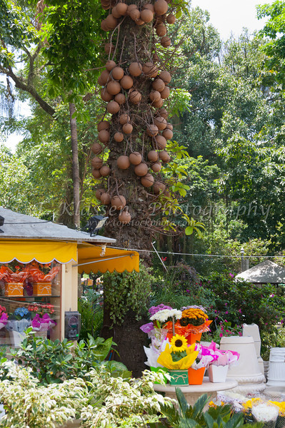 Large bunches of Breadfruit on the trees in downtown Rio de Janeiro, Brazil.