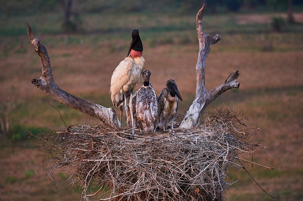 Jabiru family