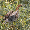 Rufescent Tiger Heron (immature)