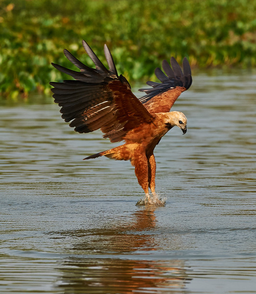 Black-collared Hawk fishing