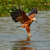 Black-collared Hawk fishing