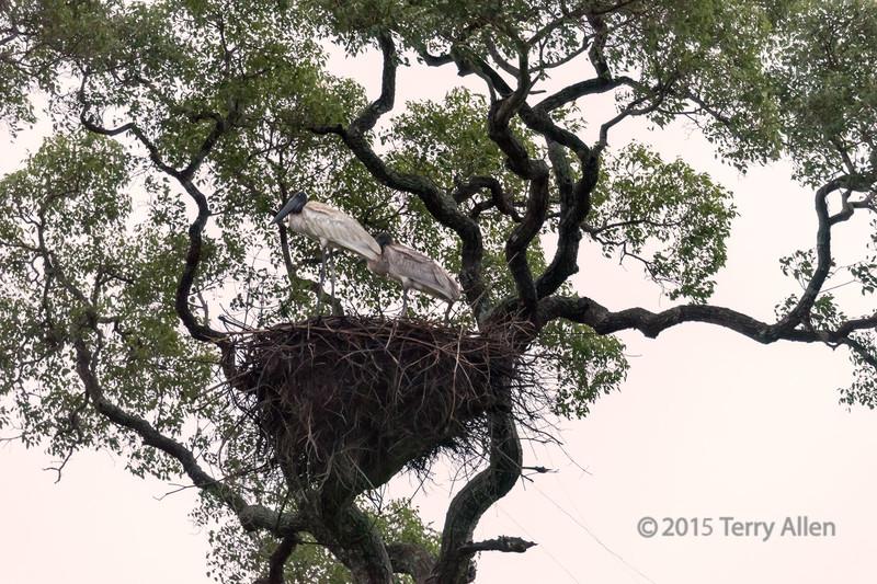 Adult-and-juvenile-Jabiru-storks-in-nest-at-sunset,-Transpantanal-Hwy,-Brazil