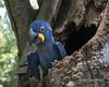 Hyacinth macaw (Anodorhynchus hyacinthinus) nesting in a hollow tree, Porto Joffre, Rio Cuiaba, Pantanal, Brazil