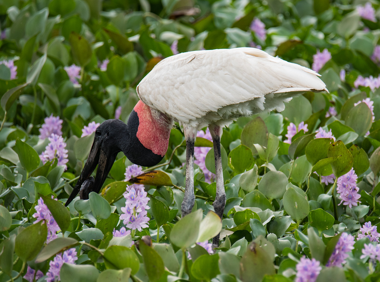 Jabiru with catfish