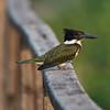 Amazon Kingfisher (female)