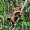 Family of three Tufted Capuchins