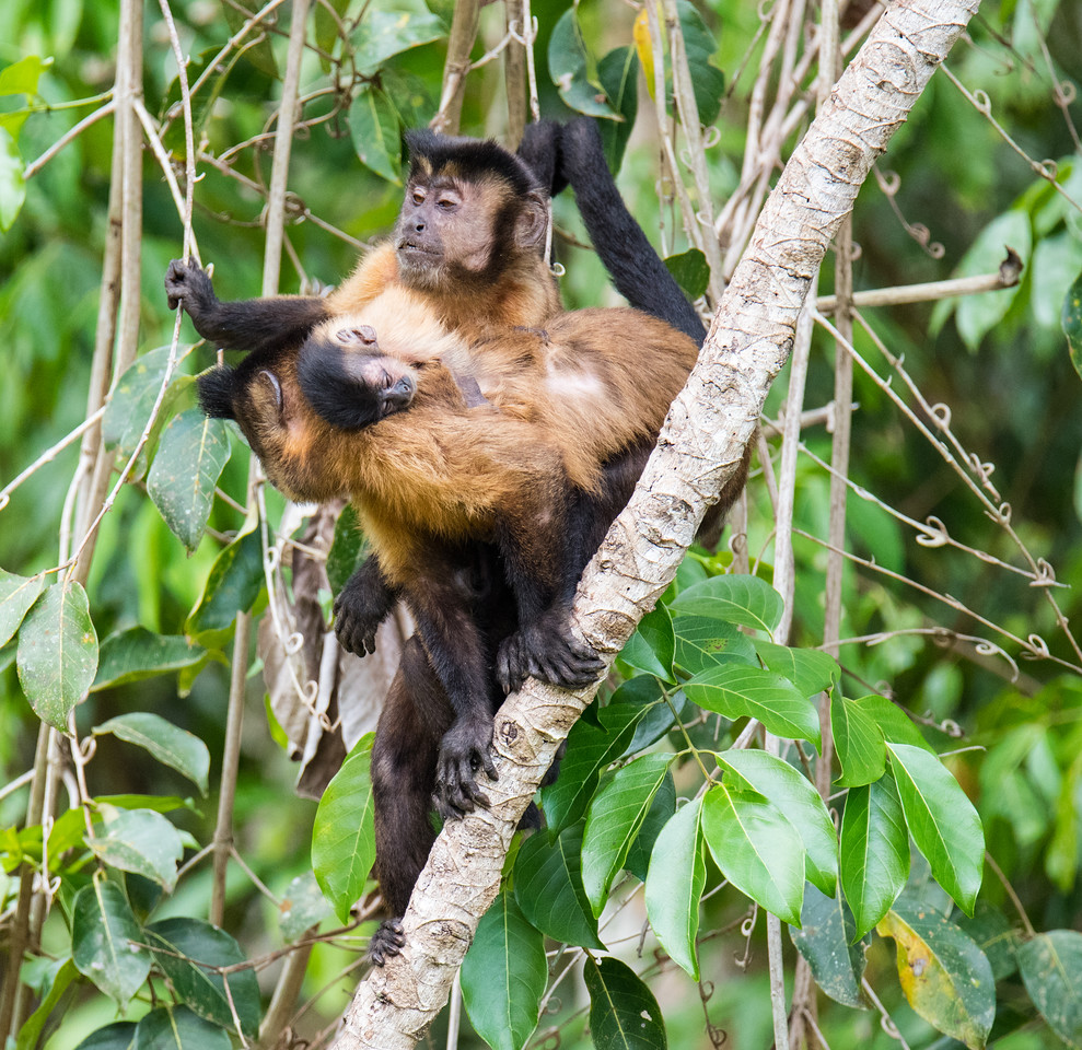 Tufted Capuchins