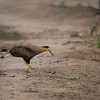Southern Caracara with fish