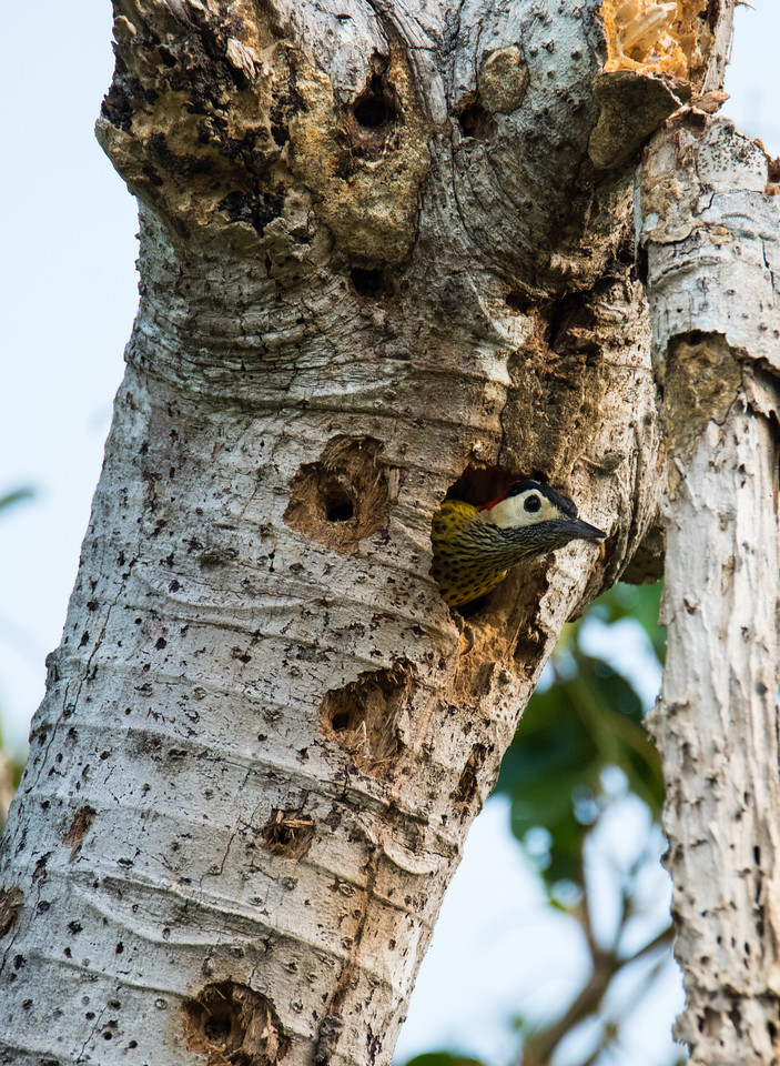 Green-barred Woodpecker (female)