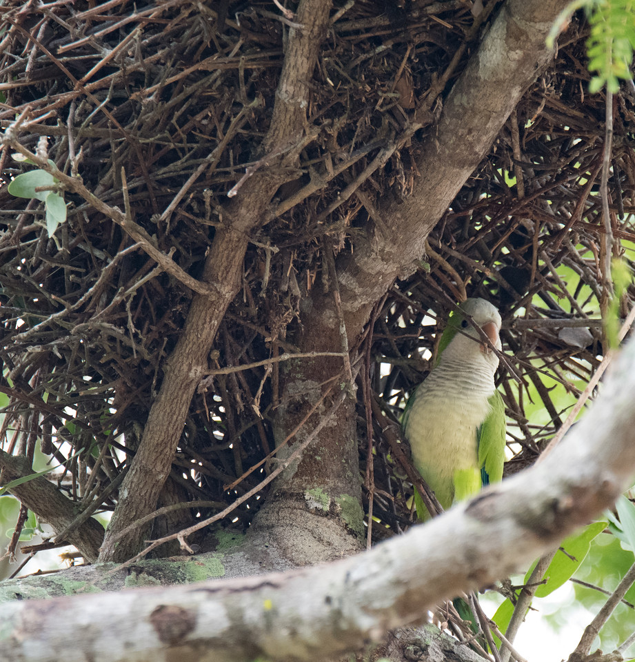 Monk Parakeet building nest