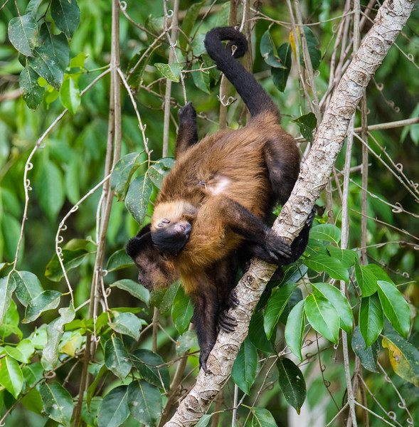 Tufted Capuchins - looks like mum & baby but count the feet!