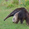 Giant Anteaters are relatively easy to find near Caiman Lodge in the Southern Pantanal, Brazil. Photographed by Debbie Thompson on May 17, 2014.