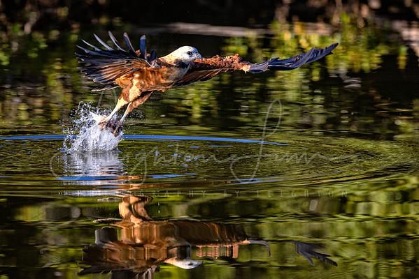 Black Collard Hawk flight shots