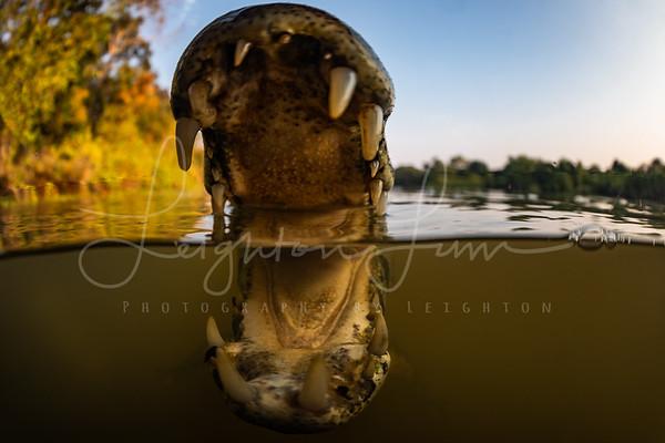 Caiman Jaws