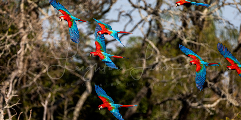 Rainbow macaw flock