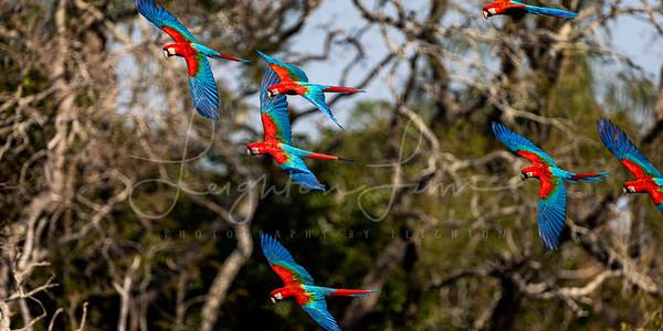 Rainbow macaw flock