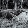 Giant Anteater bnw