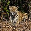 Majestic Jaguar