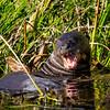 Nasty Giant Otter
