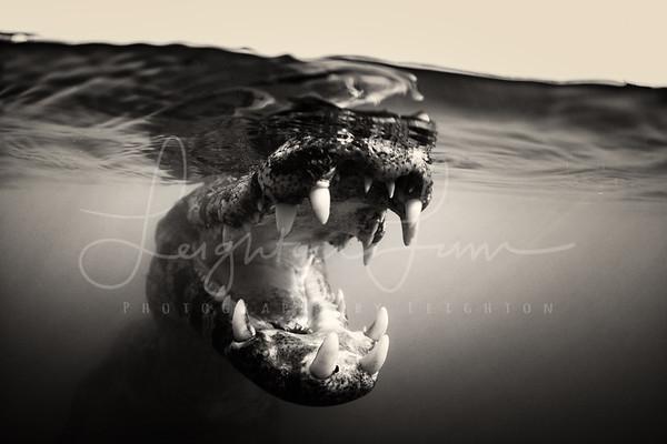 BNW caiman underwater