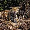 Majestic Jaguar 2