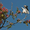 A Wood Stork in pink flowered Tabebuia tree. Photographed along the Paraguay River, Pantanal, Brazil. By Debbie Thompson on August 22, 2011.